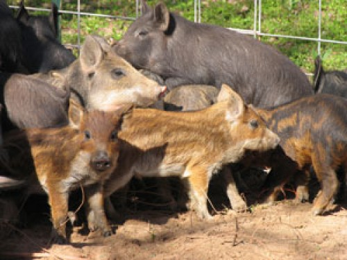 New Mexico invaded by Feral Hogs; Michigan to consider lifting 3 ...