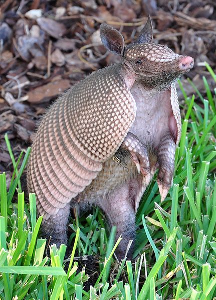 Georgia and Michigan scientists say Armadillos and other