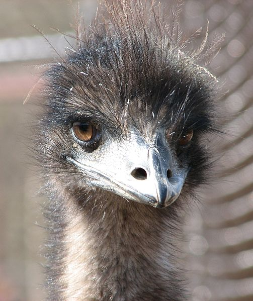 Emu  Natural Unseen Hazards Blog