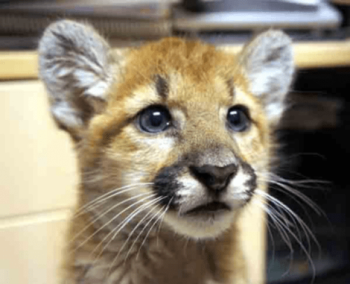 IDAHO game officials capture/remove two young MOUNTAIN LIONS from ...