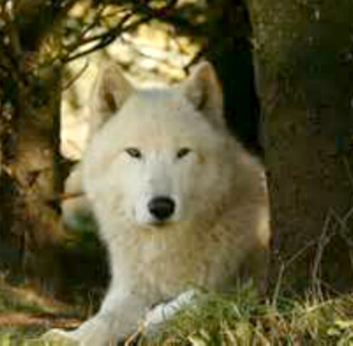Is WHITE ANIMAL found dead in MAINE a WOLF, COYOTE, or DOG ...