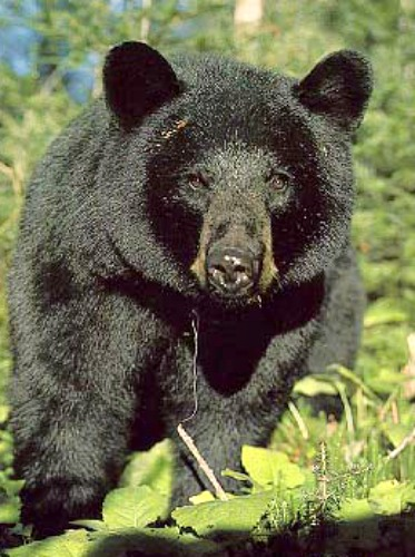 WISCONSIN MAN mauled by BLACK BEAR ~ MONTANA confirms 2 cases of ...