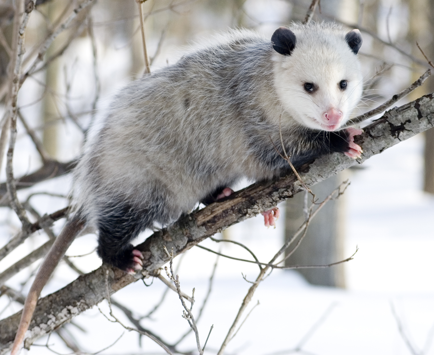 NEW YORK ecologist says OPOSSUMS are very efficient TICK killers ...