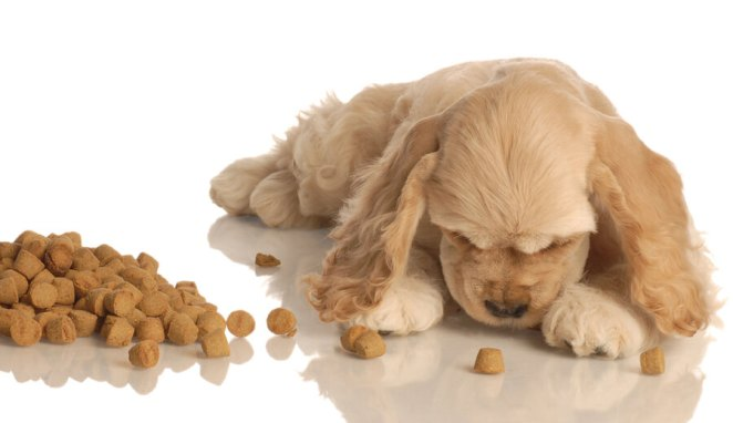 Puppy eating best dog food