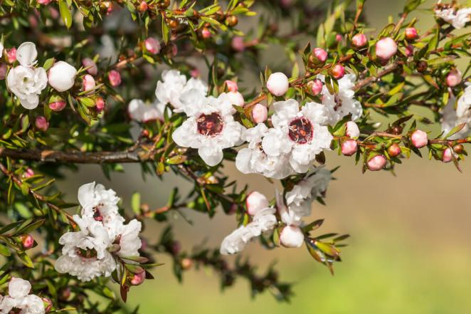 What's the difference between manuka and honey