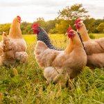 Raising chickens feature