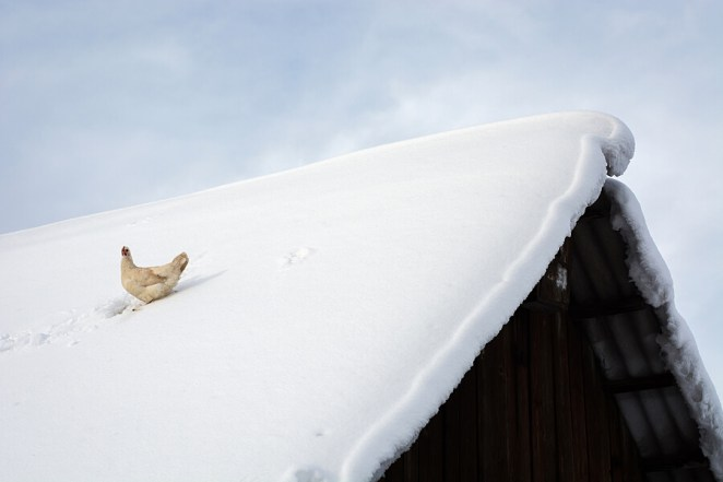 Taking care of chickens in winter