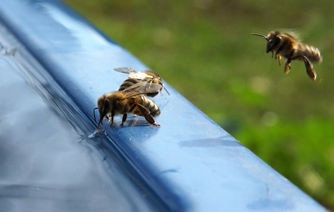 Bees drinking water