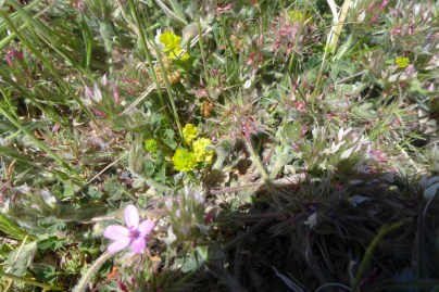 Erodium, Anthyllis lemanniana and Medicago