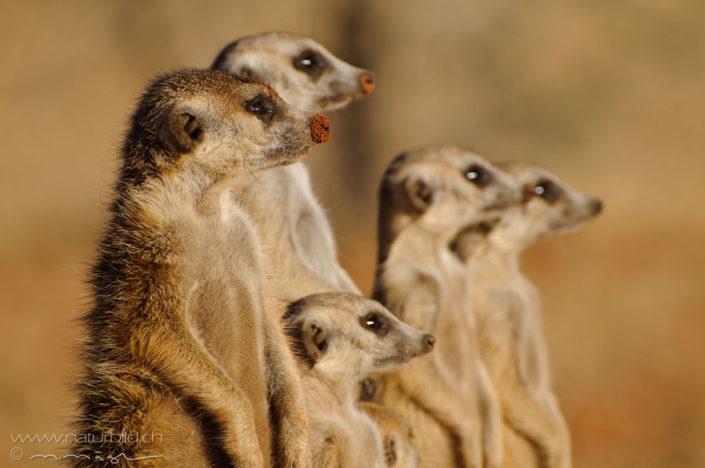Tiere Afrikas  naturbildch