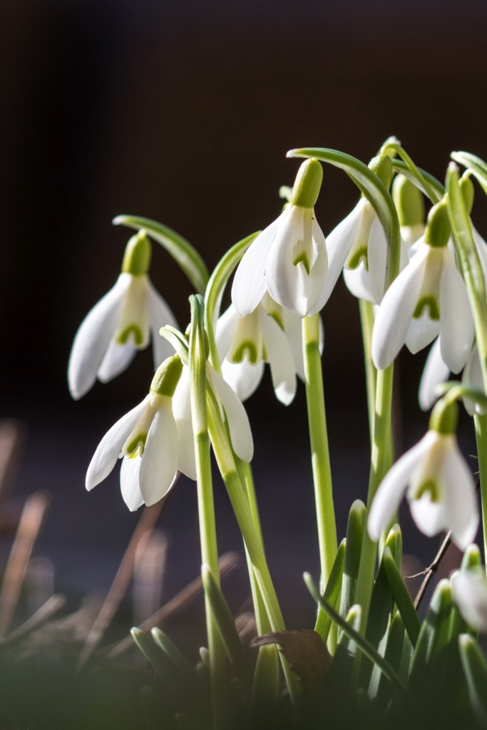 Snowdrop Flower Images : snowdrop, flower, images, Snowdrop, Planting, Advice, Caring, Spring, Groundcover, Flower
