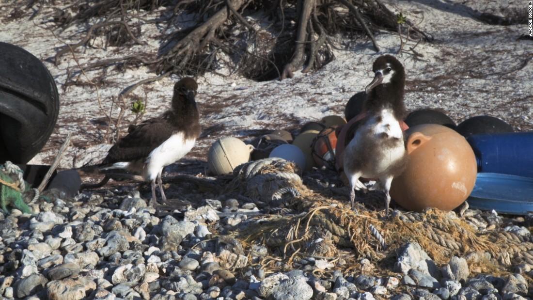 Migrating Birds Diagrams These Birds Are Choking On A Plastic Ocean Cnn Com