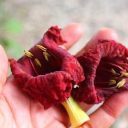 Fleur-de-Kigelia-africana