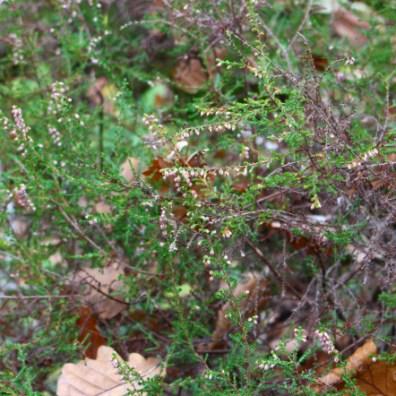 calluna vulgaris cueillette
