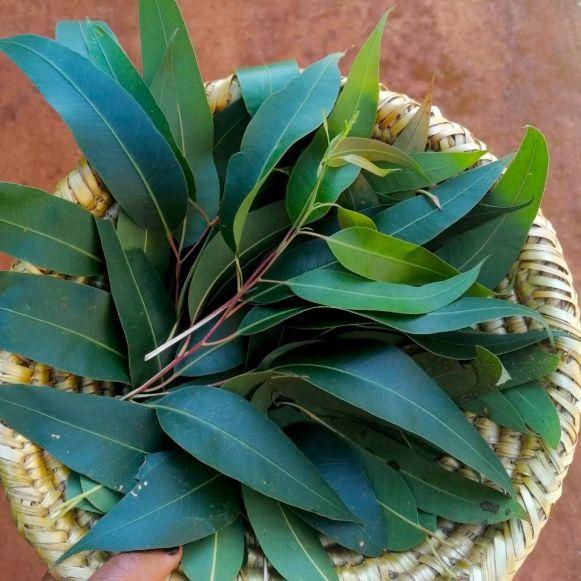 Eucalyptus globulus feuilles