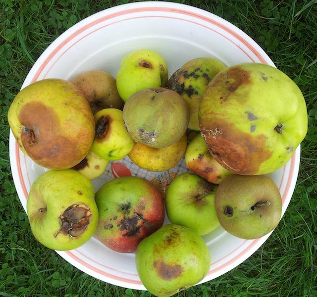 Pommes pour compote : ne vous fiez pas à l'apparence !