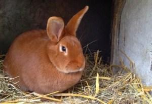 femelle de lapin fauve de bourgogne