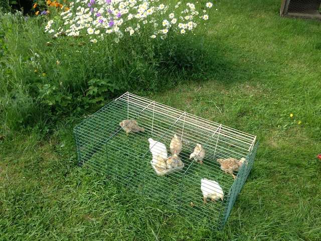 La cage est déplacée dans la pelouse