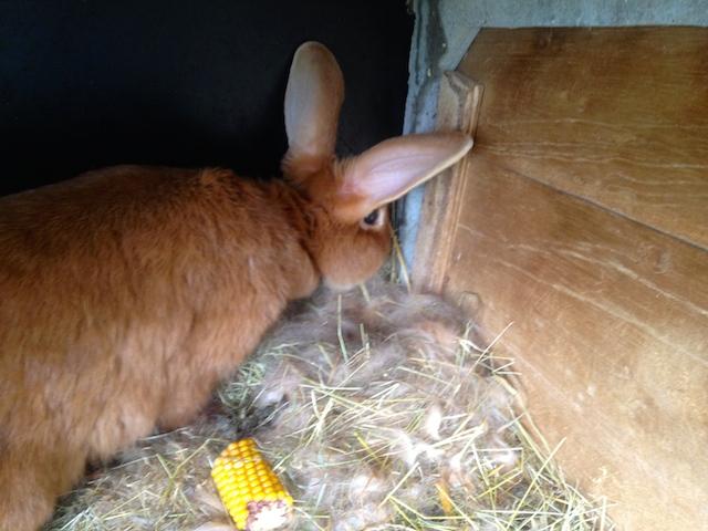 La lapine surveille et défend son nid : 4 jours après la mise bat