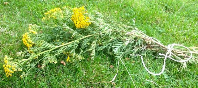La tanaisie est séchée en bouquet