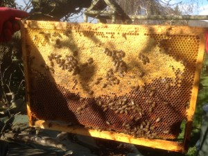 Vérification des réserves de miel pour l'hiver