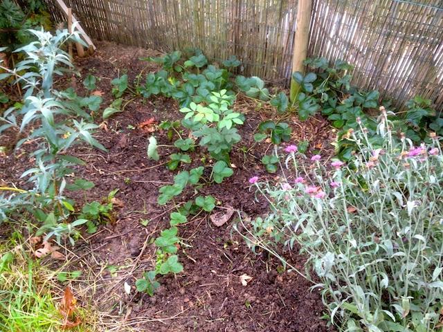 Retrait des herbes indésirables et fraisiers excédentaires