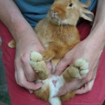 Comment déterminer le sexe des lapins ?