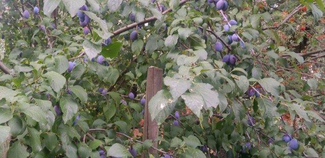 Conserve des prunes