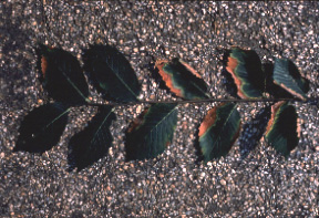 Bacterial leaf scorch of elm