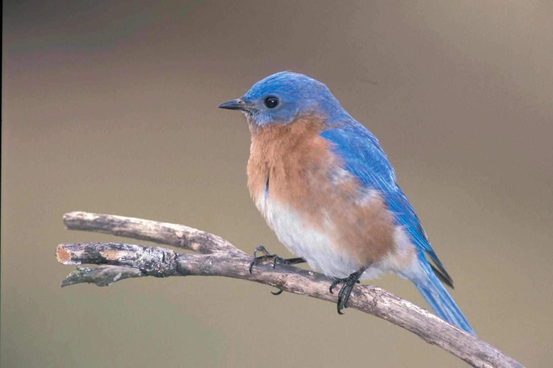 Eastern Bluebird  MDC Discover Nature