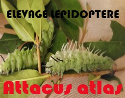Elevage Attacus Atlas : Jour 4
