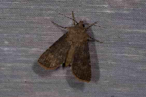 Chasse Aux Papillons - Amuré - 01-06-2012 - Agrotis segetum