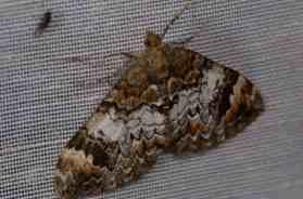 Chasse Aux Papillons - Amuré - 01-06-2012 - Chloroclysta truncata