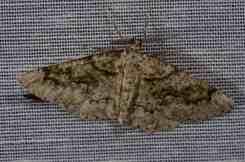 Chasse Aux Papillons - Amuré - 01-06-2012 - Cleorodes lichenaria