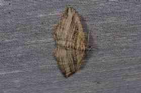 Chasse Aux Papillons - Amuré - 01-06-2012 - Costaconvexa polygrammata-3
