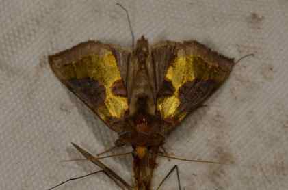 Chasse Aux Papillons - Amuré - 01-06-2012 - Diachrysia chrysitis-1