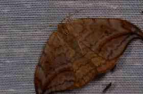 Chasse Aux Papillons - Amuré - 01-06-2012 - Drepana curvatula