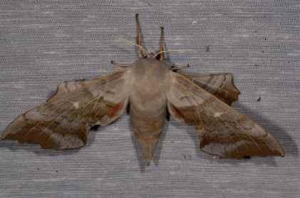 Chasse Aux Papillons - Amuré - 01-06-2012 - Laothoe populi-2