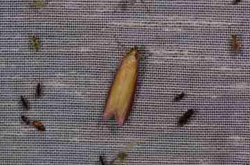 Chasse Aux Papillons - Amuré - 01-06-2012 - Oncocera semirubella