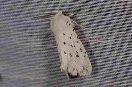 Chasse Aux Papillons - Amuré - 01-06-2012 - Spilosoma lubricipeda-2