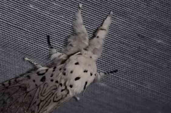 Chasse Aux Papillons - Amuré - 04-05-2014- Cerura Erminea -2