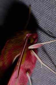 Chasse Aux Papillons - Amuré - 04-05-2014 - Deilephila porcellus-1