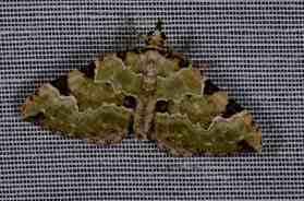 Chasse Aux Papillons - Amuré - 04-05-2014-colostygia pectinataria