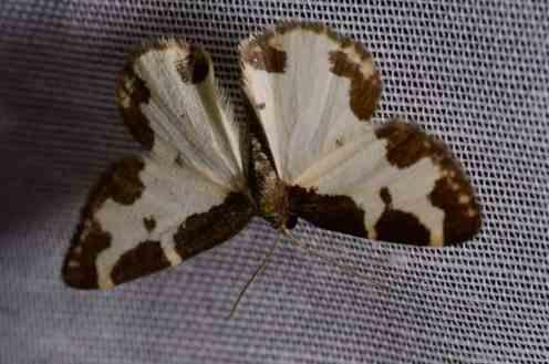 Chasse Aux Papillons - Amuré - 04-05-2014-lomaspilis marginata