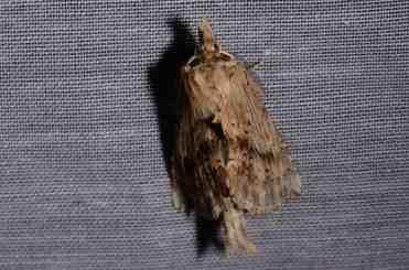 Chasse Aux Papillons - Amuré - 04-05-2014-pterostoma palpina