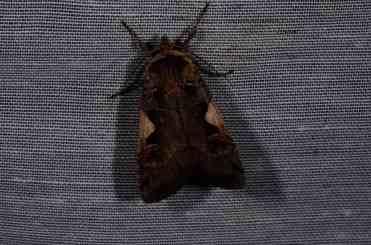Chasse Aux Papillons - Amuré - 04-05-2014-xestia c-nigrum
