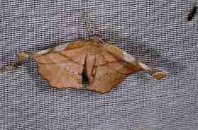 Chasse Aux Papillons - Amuré - 04-09-2014-Apeira syringaria