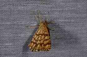 Chasse Aux Papillons - Amuré - 04-09-2014-Chiasmia clathrata