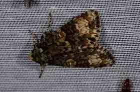 Chasse Aux Papillons - Amuré - 04-09-2014-Craniophora ligustri