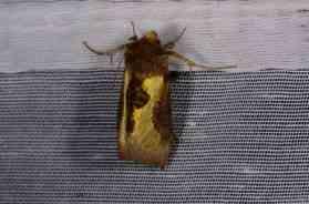 Chasse Aux Papillons - Amuré - 04-09-2014-Diachrysia chrysitis